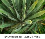Yucca Plant Is From America  A...