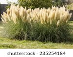 Pampas Grass Growing In A...