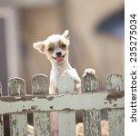 Funny Face Of Pomeranian Dog...