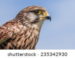 Female Kestrel In Profile. A...