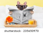 Stock photo french bulldog dog having nice breakfast or lunch in bed reading the newspaper 235650970