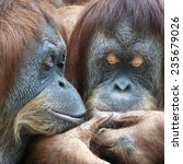 wild tenderness among orangutan.... | Shutterstock . vector #235679026