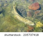 fly fishing for brown trout | Shutterstock . vector #235737418