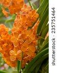 Small photo of orange hybrid vanda orchid flower