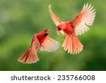 Northern cardinal  wildlife