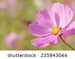 Close Up Of Pink Garden Cosmos...