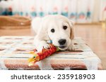 Stock photo labrador retriever puppy playing with toy at room 235918903
