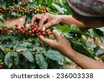 arabica coffee berries with... | Shutterstock . vector #236003338