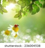 Ladybird On Daisy Flowers At...