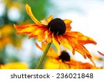 Bright Yellow Rudbeckia Or...