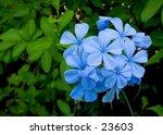 Plumbago Blue Flower