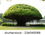 Mushroom Shape Banyan Tree