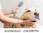 Stock photo relaxing bath foam to a golden retriever dog 236108794