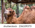 Camel In A Zoo