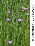 Small photo of Corncockle - Agrostemma githago Rare Arable Wild Flower