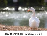 White Duck Stand Next To A Pon...