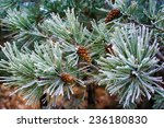 Branch Of Pine Tree With Cone...