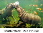 behavior of pygmy hippo.   Shutterstock . vector #236444350