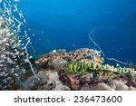 Small photo of Glassfish (ambassis) swimming in a beautiful aquarium like coral sea landscape in the Indian Ocean, Zanzibar