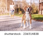 Stock photo purebreed beagle on the long lead 236514838