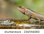 single orange spiny lizard... | Shutterstock . vector #236546083
