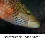 Small photo of Labridae fish portrait