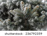 Pine tree branches covered with snow frost in cold tones. - stock photo