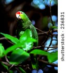 Small photo of Red-lored Parrot (Amazona autumnalis).