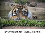 this is a close up of a tiger | Shutterstock . vector #236845756