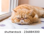 Brown Exotic Shorthair Cat ...