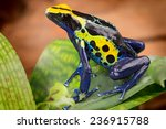 Poison dart frog  dendrobates...