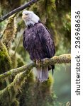 Bald Eagle On A Branch Very...