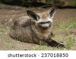bat eared fox  otocyon... | Shutterstock . vector #237018850
