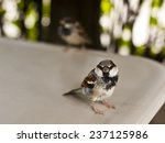 Two Sparrows Sitting On A Whit...