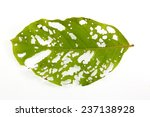 Leaf With Holes  Eaten By Pest...