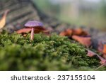 Small photo of A Purple Deceiver in a piece of moss in the Horsten, Netherlands.