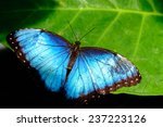 Blue Common Morpho Butterfly...