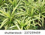 Green Leaves Of Chlorophytum...