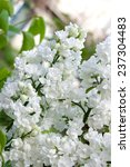 white lilac flowers | Shutterstock . vector #237304483