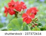 Geranium Flowers   Macro Close...