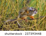 common squirrel monkey with cube | Shutterstock . vector #237393448