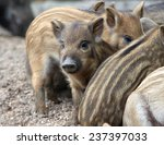 Wild Piglets Resting On The...