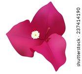 Bougainvillea Flower Isolated...