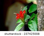 Small photo of Aeschynanthus hildebrandii