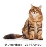 Siberian Beautiful Adult Cat...