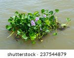 water hyacinth plant floating...   Shutterstock . vector #237544879