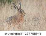 Stock photo hiding hare sitting in the grass lepus europaeus 237708946