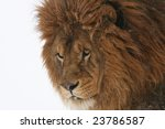 captive barbary lion  species... | Shutterstock . vector #23786587
