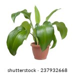 House Plant In Pot Isolated On...