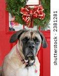 bull mastiff dog in front of xmas decorated door - stock photo